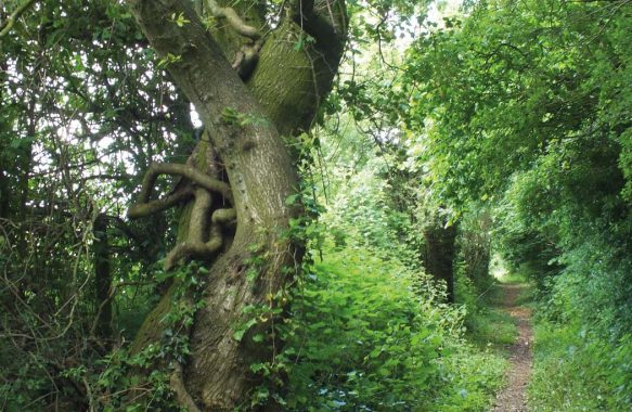 leafy path with trees either side, summer