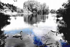 black and white photo of swans on lake surrounded by trees with blue tint added to water