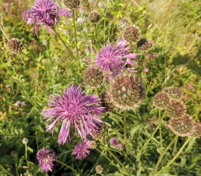 close up of greater knapweed plant