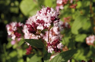 close up of pick and burgundy small petalled flowers of marjoram