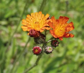 orange hawkweed close up