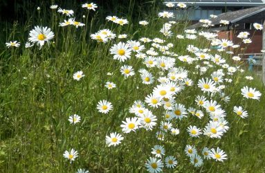 large stemmed daisies with yellow centre and white petals