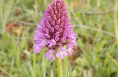 purple pyramid shaped flower head of orchid
