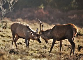 Two stags locking antlers