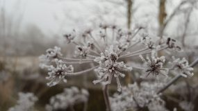 seed head covered in frost