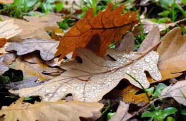 brown oak leaves fallen on ground