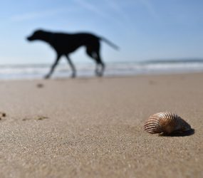 close up of shell on beach in foreground with silhouette dog out of focus in background