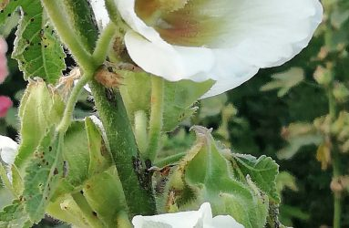 bumble bee and honey bee inside white hollyhock flowers