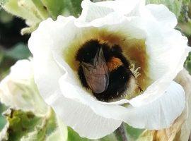 bee nestled inside white hollyhock flowerhead
