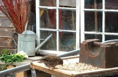sparrow eating seeds from makeshift bird table