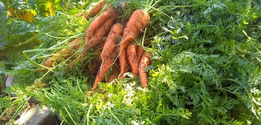 freshly picked carrot in a wheelbarrow
