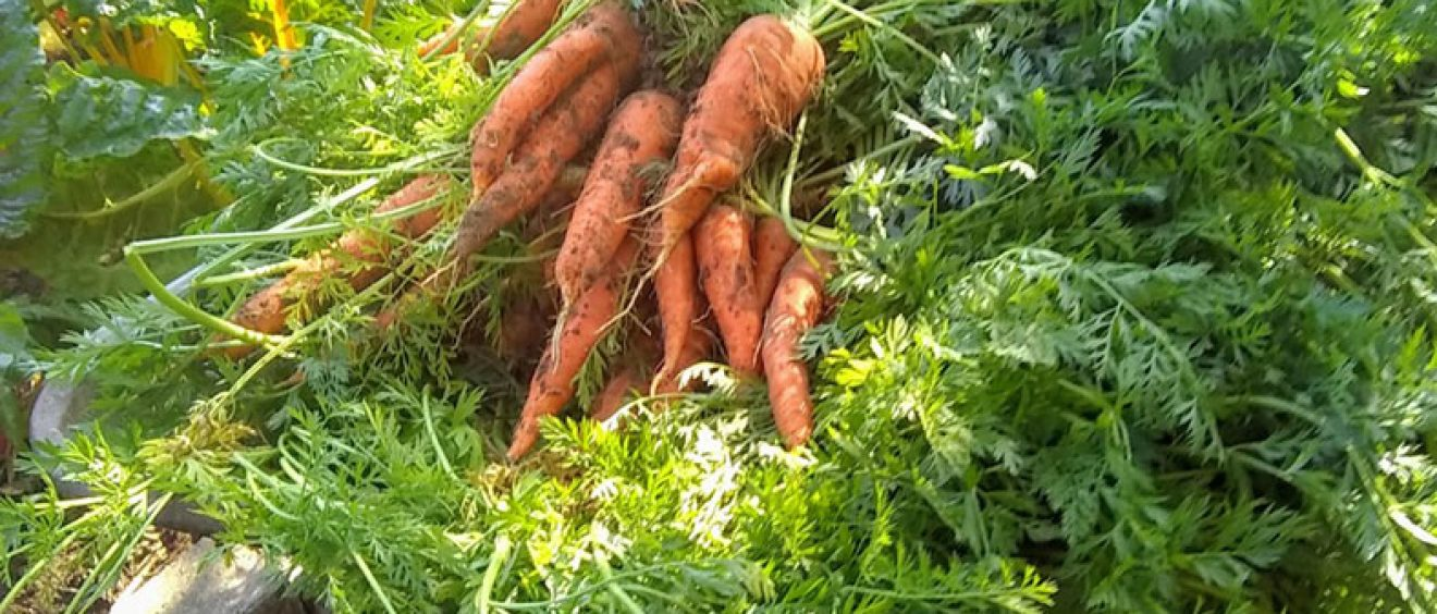 freshly picked carrot in a wheelbarrow