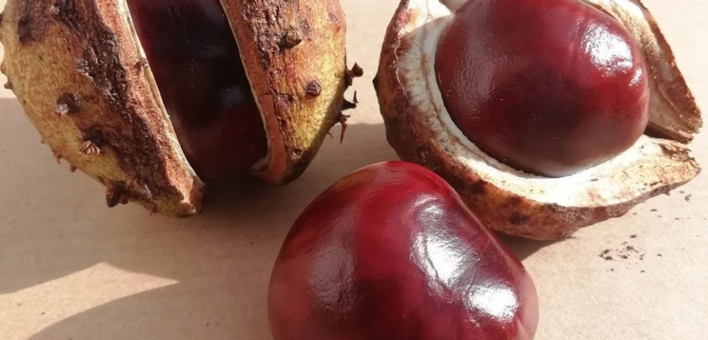 horse chestnut showing outer case and opened up to reveal shiny conker
