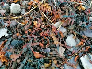 yellow, orange, red and green toned seaweed laying on pebbles