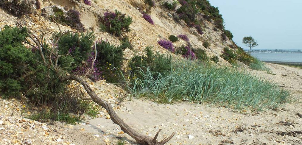 gorse and heather growing on sandy cliff