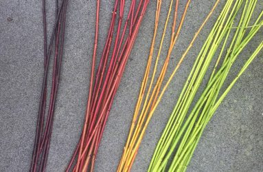 coloured stems of dogwood
