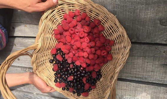 basket of raspberries and blackcurrants
