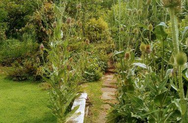 teasels growing alongside path in Hannah's garden