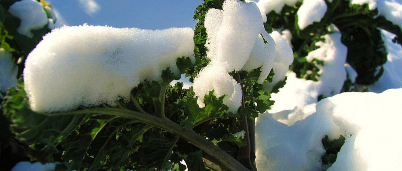 kale leaves covered with snow