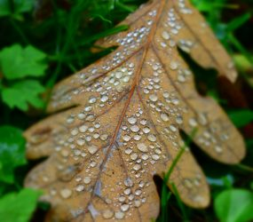 close up of dew on autumn oak leaf nestled on ground