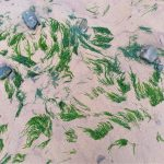 photo of green straggly seaweed on sand after tide has gone out