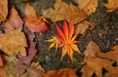 fiery orange leaf amongst shrivelled brown autumn leaves