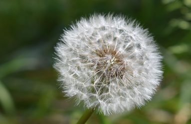 close up of dandelion seed head with out of focus background