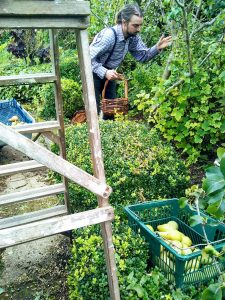 wooden steps next to pear trees, man picking pears and putting in baskets
