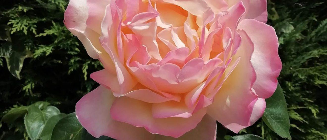 pink rose in full bloom