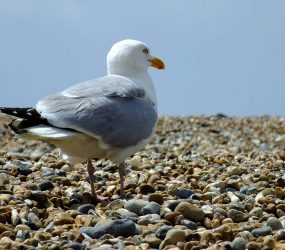 photograph of gull on pebbles