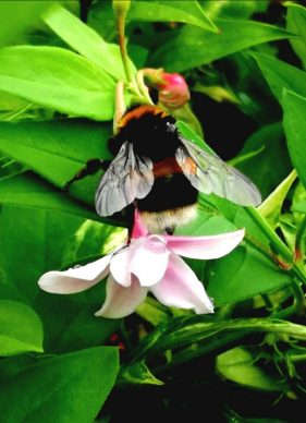 bumble bee on pink and white flower, surrounded by green leaves