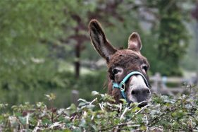 donkey's head peering over top of hedge