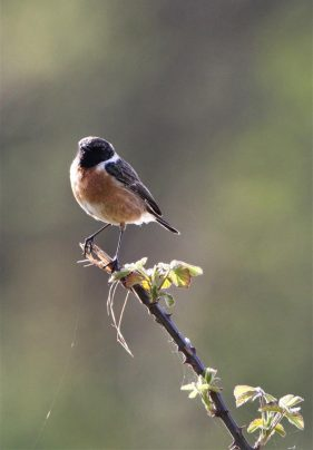 buff colour chested bird with with ring around neck on budding branch