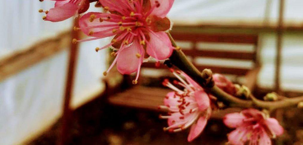 bright pink tree blossom