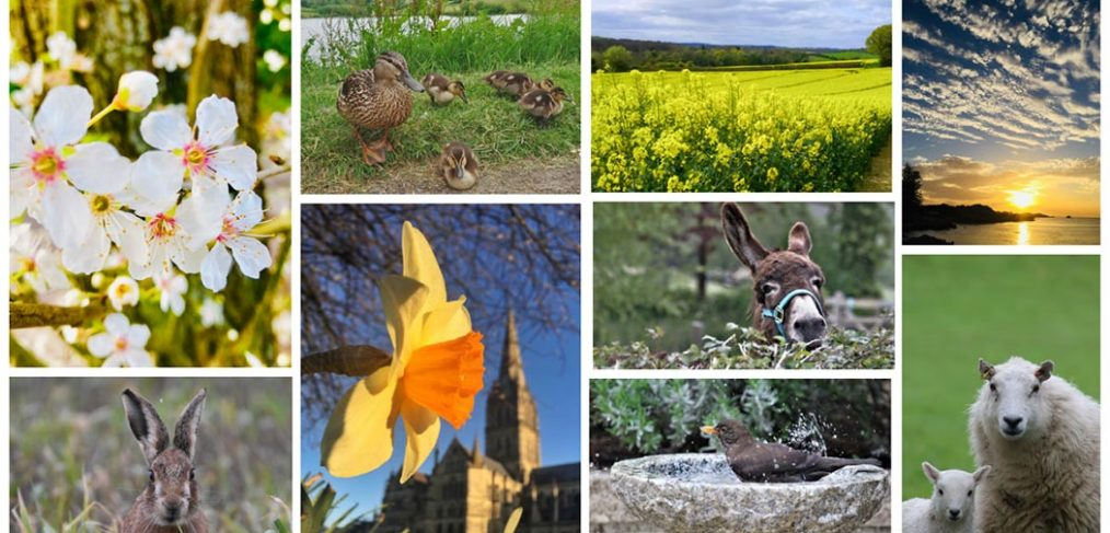 montage of spring images including daffodils, blossom, oil seed rape field, bird in bath, donkey looking over hedge and sheep