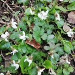 white dog violets in the undergrowth