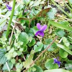 purple dog violets in the undergrowth