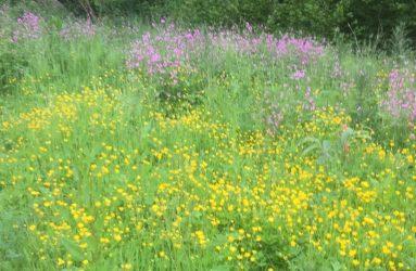 buttercups and purple headed wild flowers growing in meadow