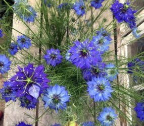 blue nigella flowers