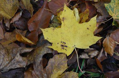 yellow autumn leaf amongst brown shriveled leaves